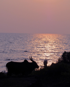 silhouette of a Goan cow overlooking the water at sunset